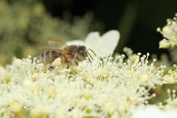 Honeybee, 23 June 2013