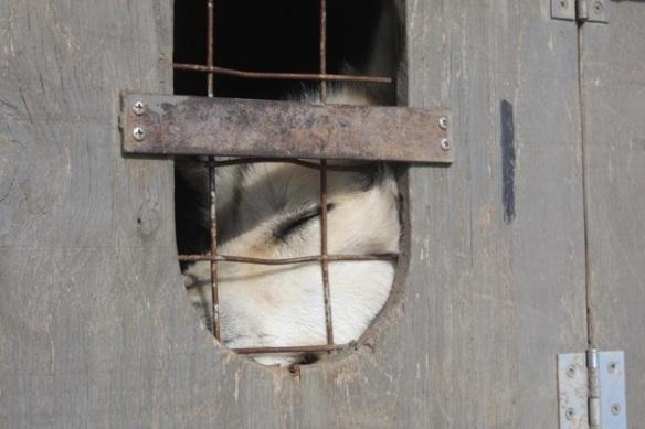 Husky dog in cage on trailer, Svalbard, 6 June 2013