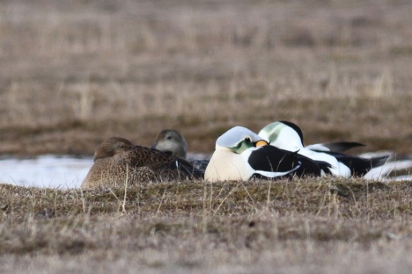 King eider and common eider couples, Svalbard, 5 June 2013
