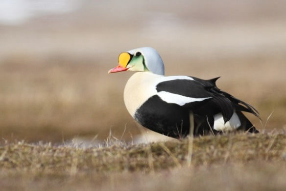King eider male, Svalbard, 5 June 2013