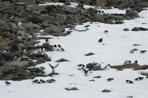 Little auk colony in the snow, Svalbard, 4 June 2013