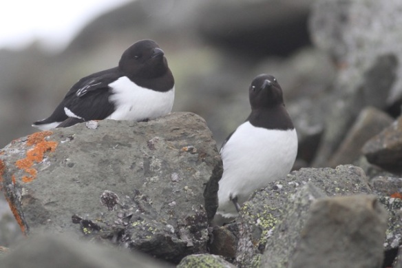 Little auk couple on another rock with orange lichen, Svalbard, 4 June 2013