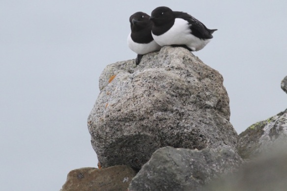 Little auk couple on rock, Svalbard, 4 June 2013