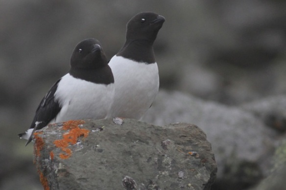 Little auk couple on rock with orange lichen, Svalbard, 4 June 2013