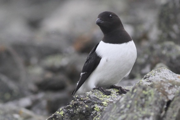 Little auk on rock with green lichen, Svalbard, 4 June 2013