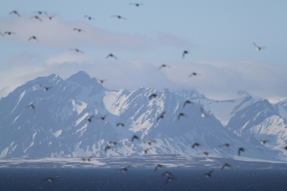 Little auks flying and Isfjord mountains, Svalbard, 6 June 2013