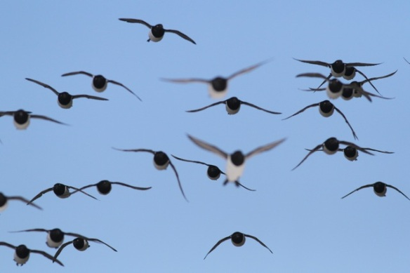 Little auks flying, Svalbard, 6 June 2013