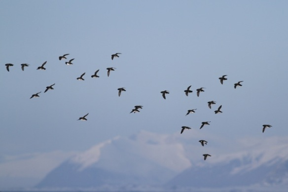 Little auks still flying and Isfjord mountains, Svalbard, 6 June 2013