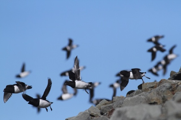 Little auks still flying, Svalbard, 6 June 2013