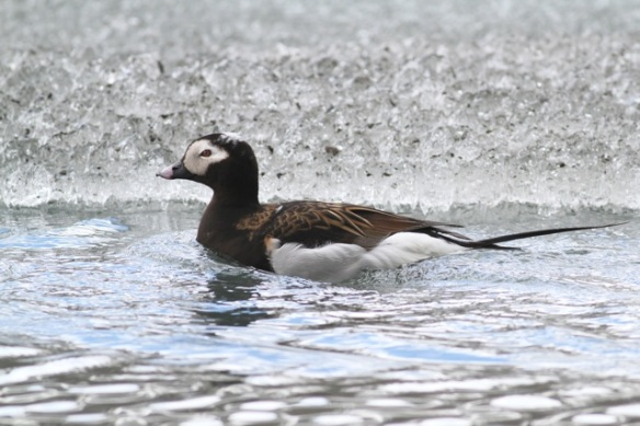 Long-tailed duck male, Adventdalen, Svalbard, 5 June 2013