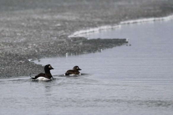 Long-tailed duck male and female, Adventdalen, Svalbard, 5 June 2013