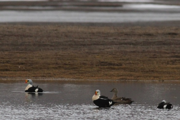 Male and female king eiders, Adventdalen lake, 3 June 2013