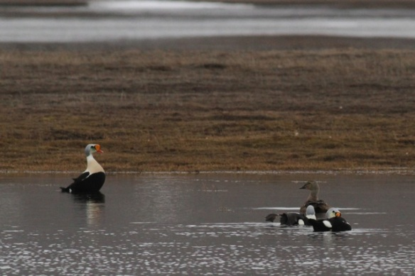 Male and female king eiders, in Adventdalen lake, 3 June 2013