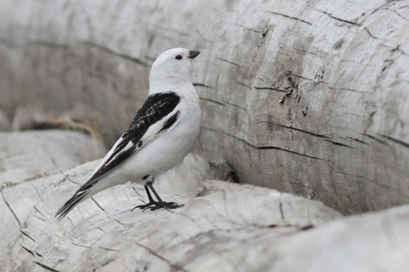Male snow bunting, eider colony, Svalbard, 3 June 2013