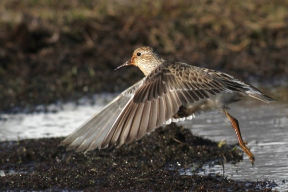Pectoral sandpiper flying, Adventdalen, Svalbard, 5 June 2013