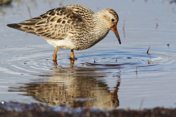 Pectoral sandpiper in water, Adventdalen, Svalbard, 5 June 2013