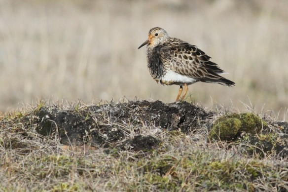 Pectoral sandpiper on hillock again, Adventdalen, Svalbard, 5 June 2013