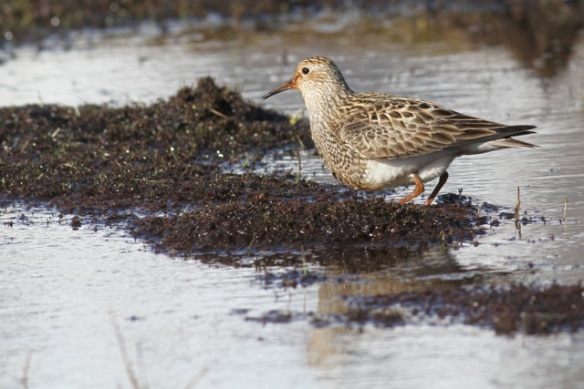 Pectoral sandpiper on mud, Adventdalen, Svalbard, 5 June 2013