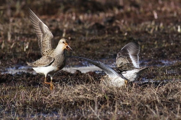 Pectoral sandpiper, left, quarreling, Adventdalen, Svalbard, 5 June 2013