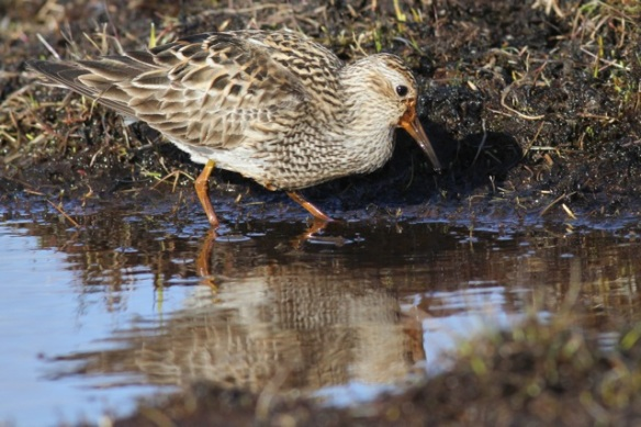 Pectoral sandpiper still in water, Adventdalen, Svalbard, 5 June 2013