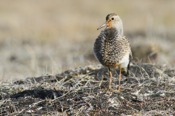 Pectoral sandpiper still on hillock, Adventdalen, Svalbard, 5 June 2013