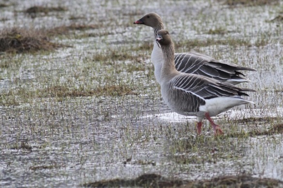 Pink-footed geese couple, Svalbard, 4 June 2013