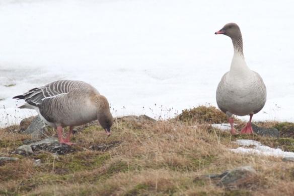 Pink-footed geese, Svalbard, 4 June 2013