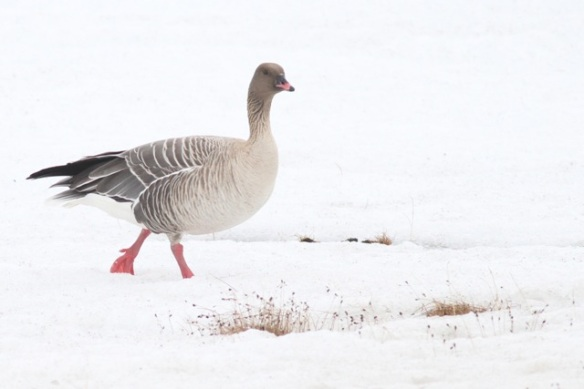 Pink-footed goose in the snow, Svalbard, 4 June 2013