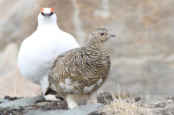 Ptarmigan female and male on hill top, Svalbard, 3 June 2013
