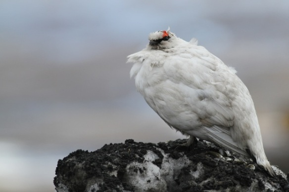 Ptarmigan male near coal mine, Svalbard, 6 June 2013