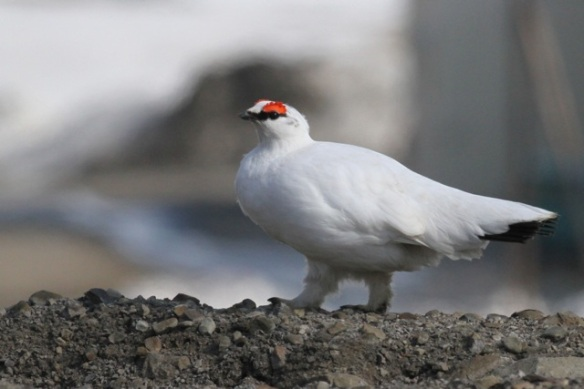 Ptarmigan male, Svalbard, June 2013
