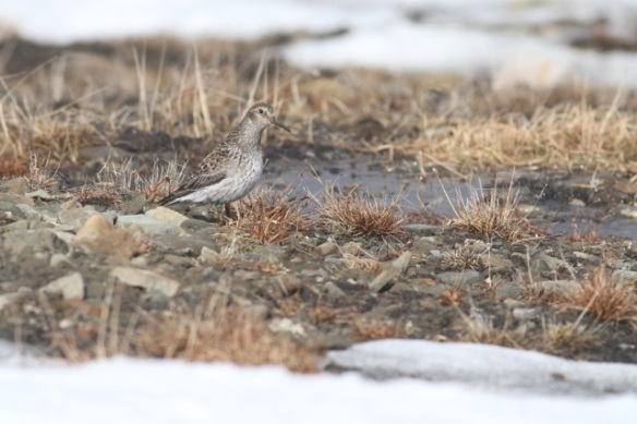 Purple sandpiper above coal mine, Svalbard, 6 June 2013