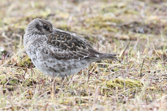 Purple sandpiper resting, Adventdalen, 3 June 2013
