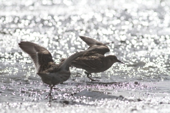Purple sandpipers above coal mine, Svalbard, 6 June 2013