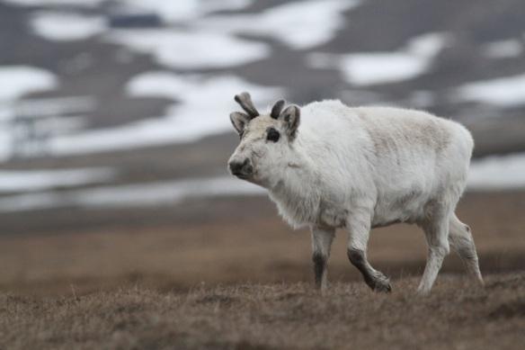 Reindeer, Svalbard, 3 June 2013