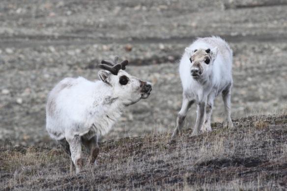 Reindeer, Svalbard, 6 June 2013