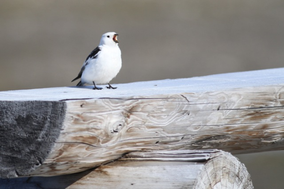 Singing male snow bunting, Spitsbergen, 7 June 2013