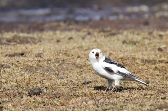 Snow bunting male on tundra, Adventdalen, Svalbard, 5 June 2013
