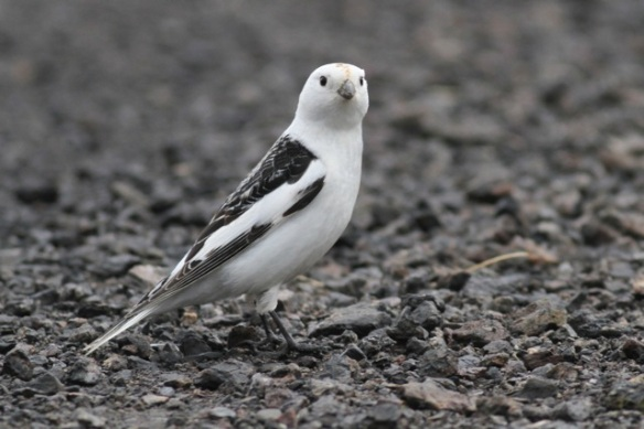 Snow bunting male sitting, Adventdalen, Svalbard, 5 June 2013