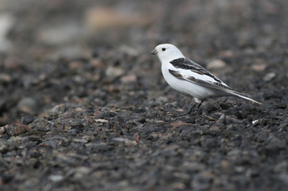 Snow bunting male still sitting on road, Adventdalen, Svalbard, 5 June 2013