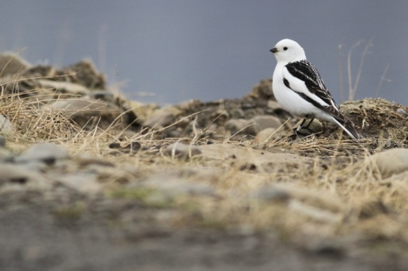 Snow bunting male still with ring, Adventdalen, Svalbard, 5 June 2013