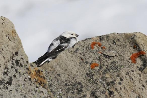 Snow bunting male, Svalbard, 6 June 2013