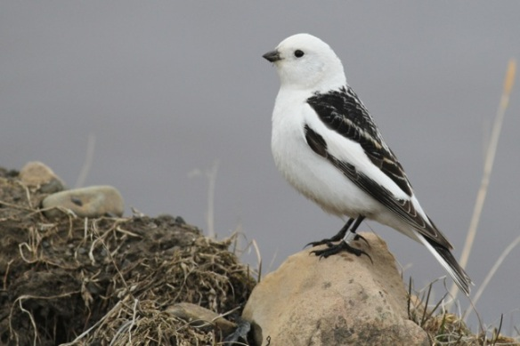 Snow bunting male with ring, Adventdalen, Svalbard, 5 June 2013