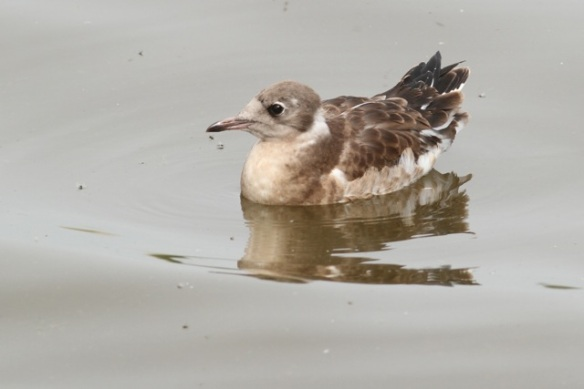 Young black-headed gull, Starrevaart, 16 June 2013