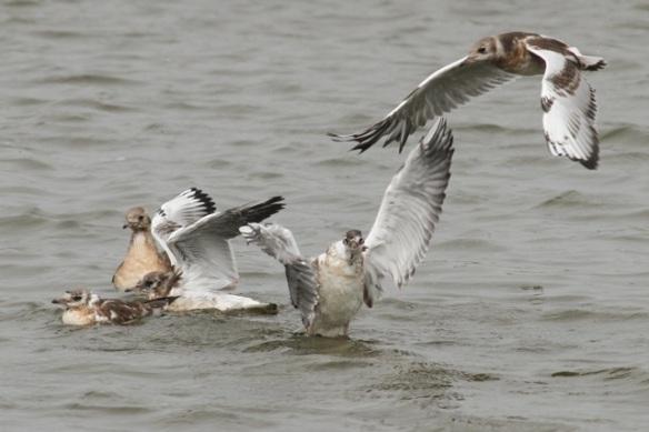 Young black-headed gulls, Starrevaart, 16 June 2013