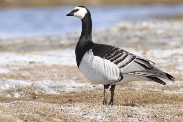 Barnacle goose, Svalbard, 8 June 2013