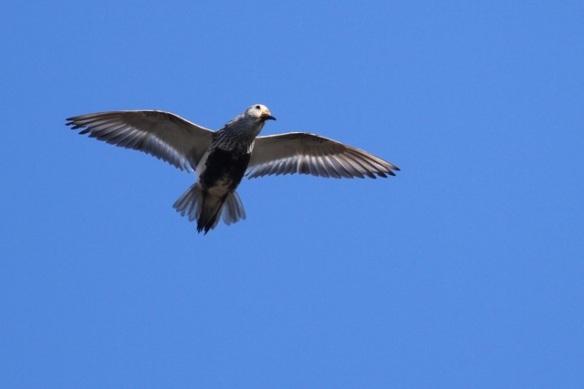 Dunlin courtship flight, Svalbard, 7 June 2013