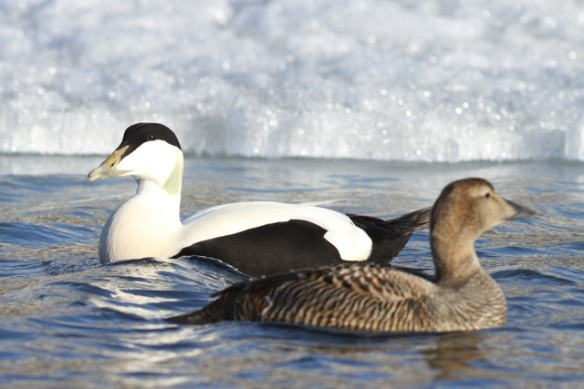 Eider duck couple, Svalbard, 7 June 2013