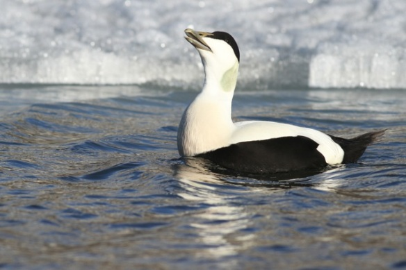 Eider duck male and ice, Svalbard, 7 June 2013
