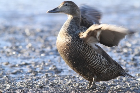 Female eider duck, Svalbard, 7 June 2013